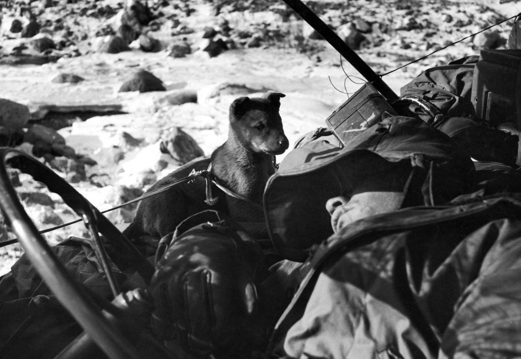An American Marine sleeps in his halted jeep while a puppy whines in his ear during the retreat from the Chosin Reservoir, December 1950.