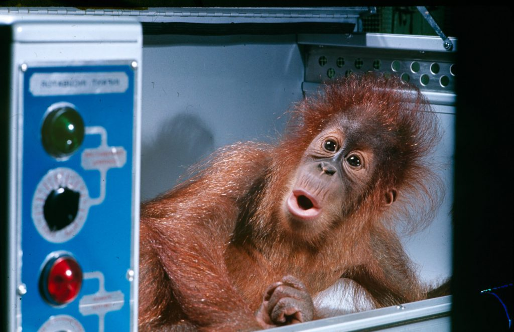 Henry, a 12-pound orangutan at the St. Louis zoo, wakes from a nap in his incubator.