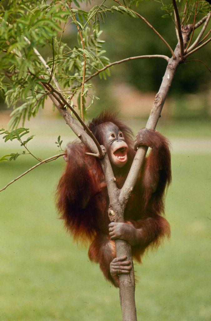 Orangutan, 1964