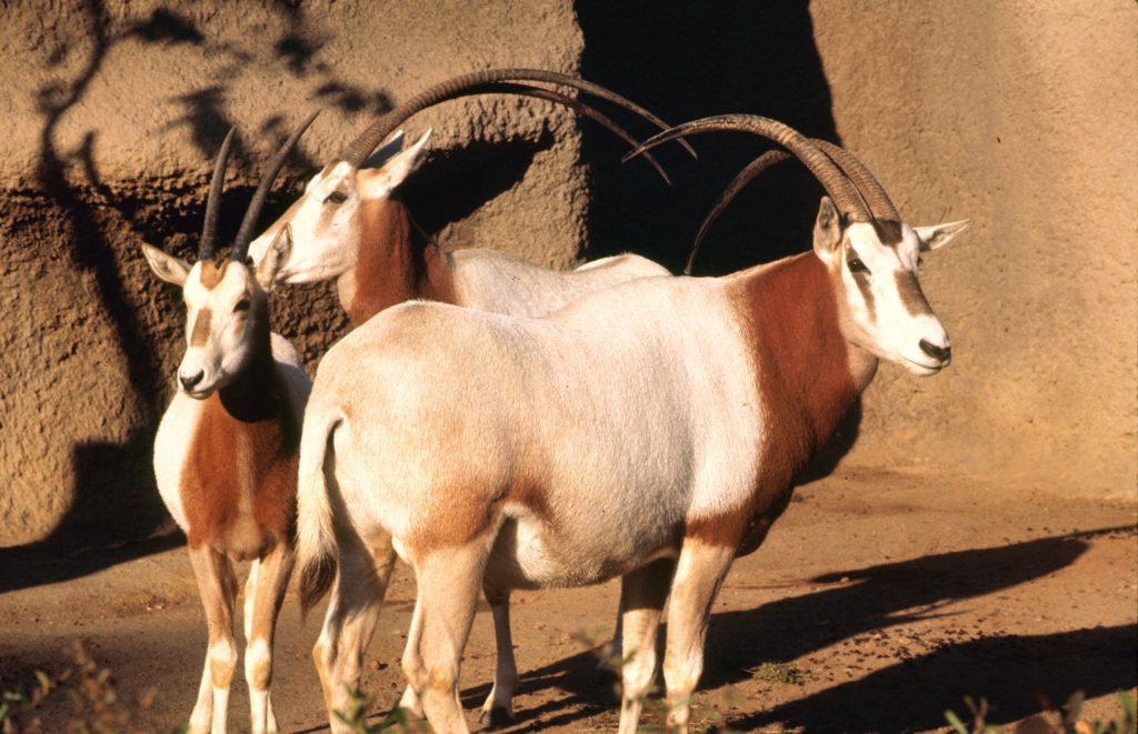 Oryx, 1964