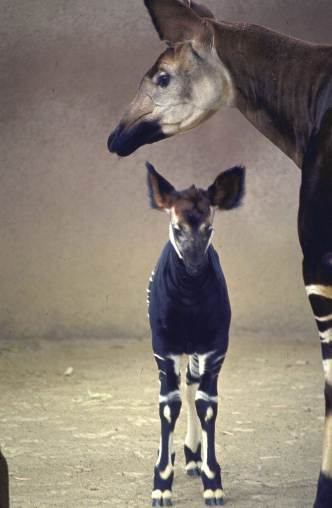 With her floppy ears cocked, the newest addition to San Diego zoo's okapi herd of five stands protectively near her mother.