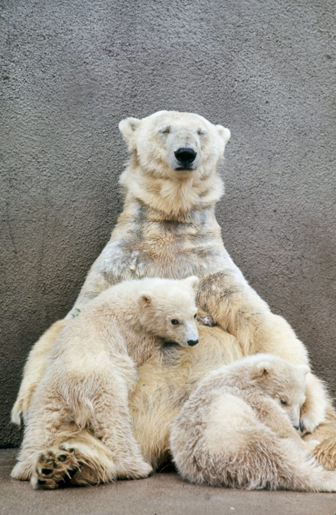 Hilda, the 15-year-old grande dame of Detroit's bears, cradles her latest set of twins, her fourth pair.
