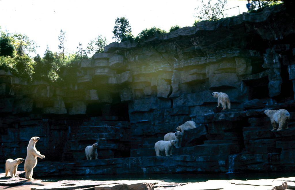 Growling hungrily, polar bears at Detroit's zoo wait for their next meal while one impatient female gets up on her hind legs for a better look.