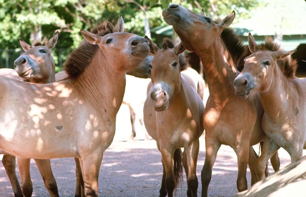Przewalski's wild horses, believed extinct in their habitat on the Mongolian steppes, are bred at the Catskill Game Farm, a private zoo in Catskill, N.Y. There are 120 of these horses in the U.S. and Europe, and in 20 years breeders hope to release some back into the wild.