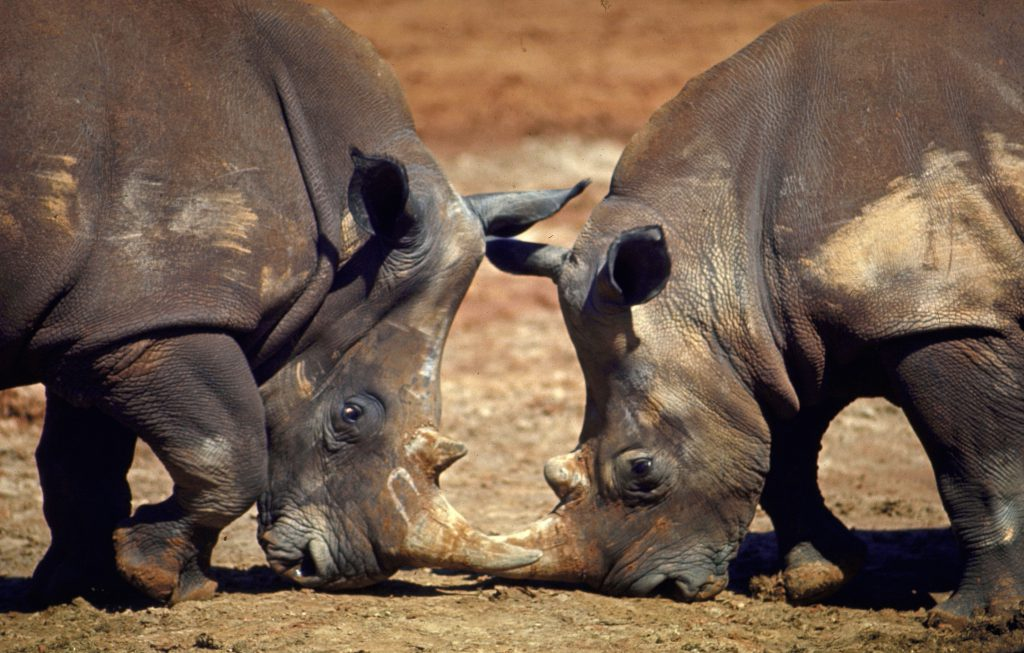 Tusk to tusk, two white rhinos eye each other at the Oklahoma zoo. The largest of all rhinos, they came from Zululand in South Africa where only 300 survive. No white rhino has yet been born in the U.S. through several zoos have pairs today and hope to mate them.