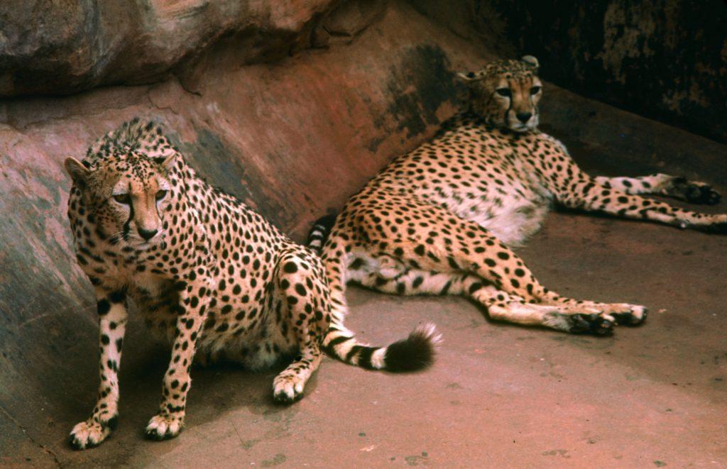 Cheetahs, 1964