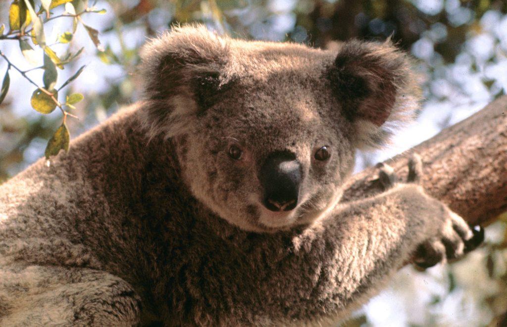 Koala, 1964