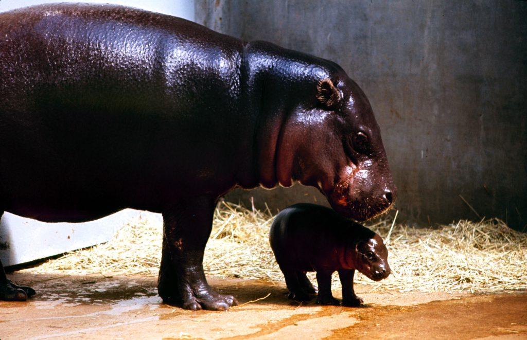 Pygmy Hippos, 1964