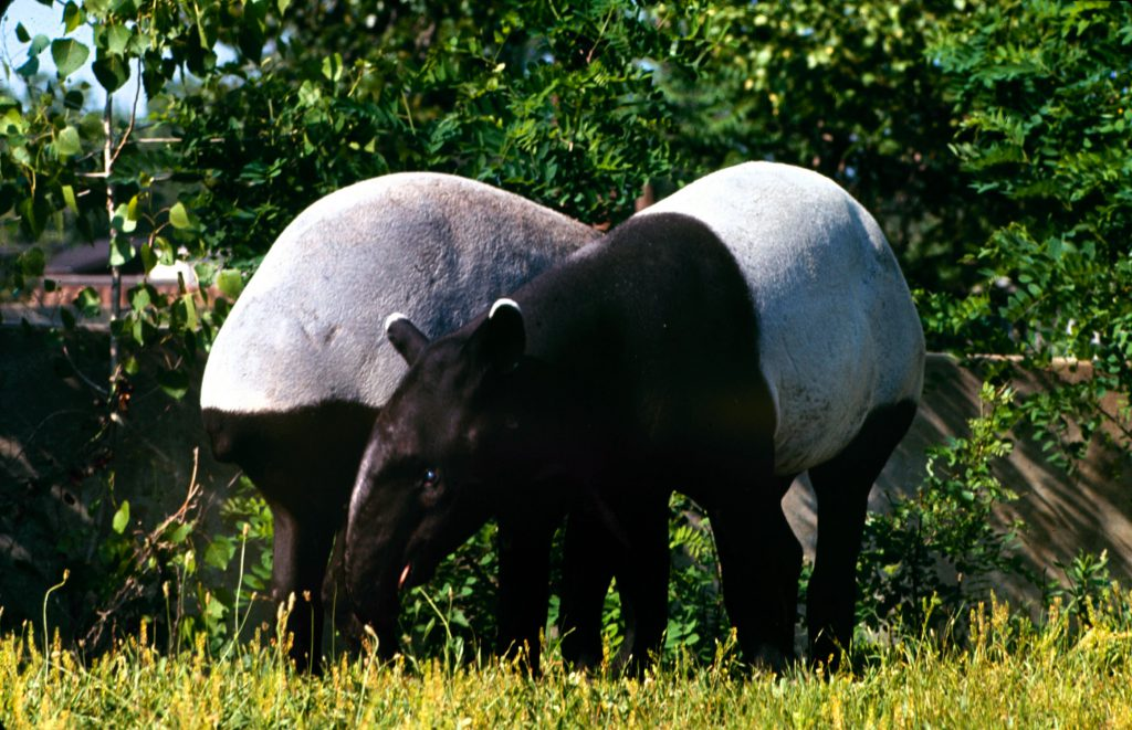 Tapir, 1964