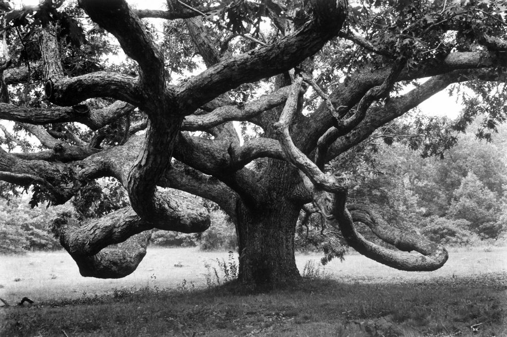 Giant oak tree on Martha's Vineyard, 1969.
