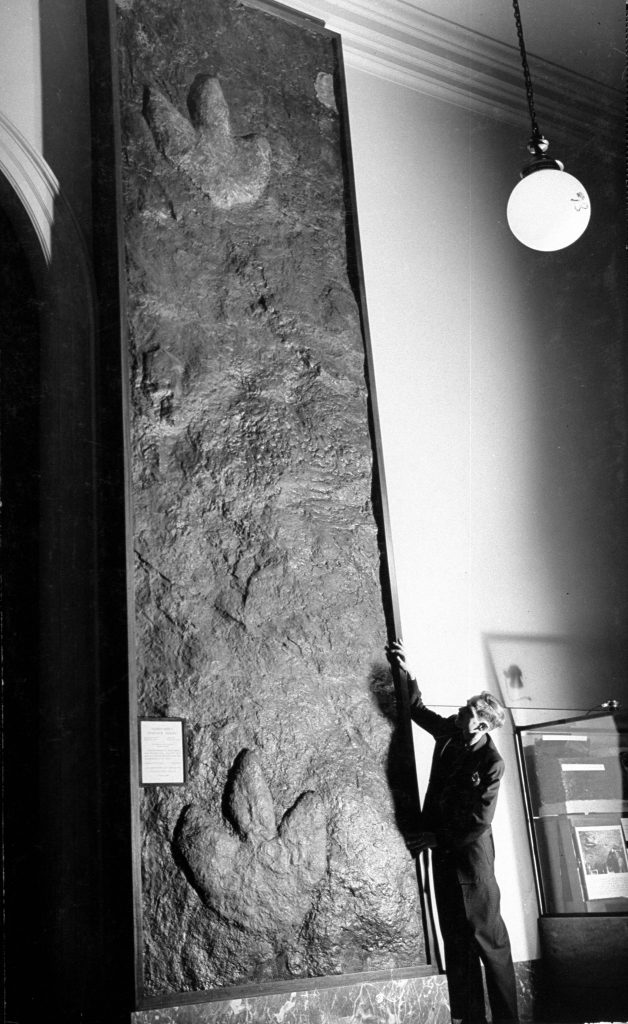 The 15-ft. step of an Iguanodont dinosaur was found in the roof of a coal mine at Cedaredge, Colo. The coal was mined away and the stone footprints were left.
