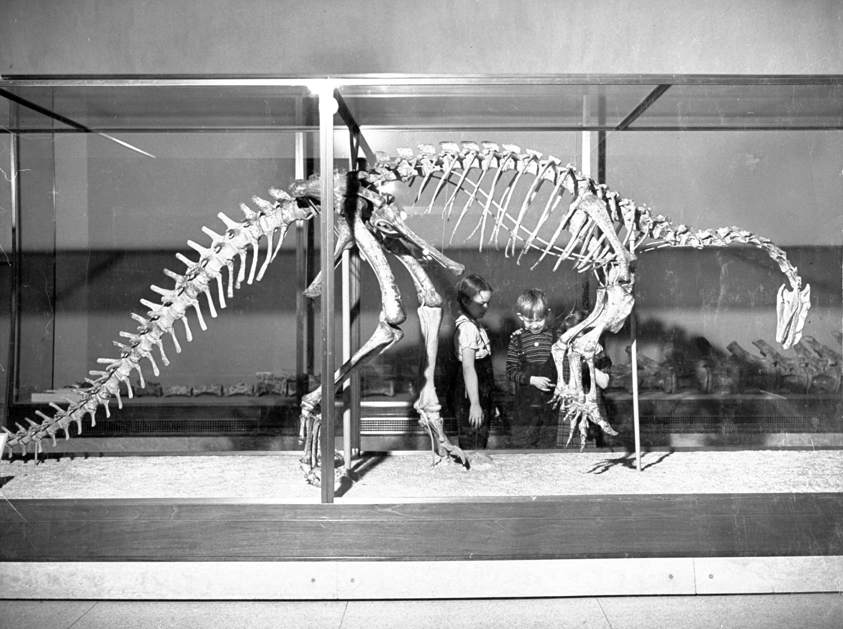 This well-preserved Plateosaurus (oar lizard) was one of the earliest dinosaurs. It stood on its hind legs, had front legs which were terminated by powerful talons.