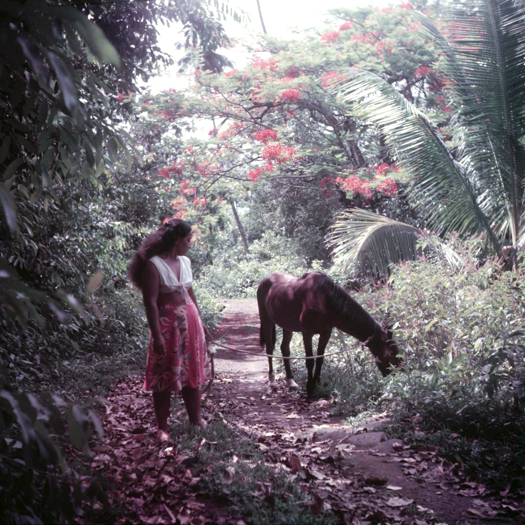 A Tahitian woman walking her horse through the jungle.