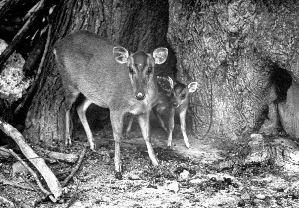 Mother and baby deer standing beside tree, 1946.