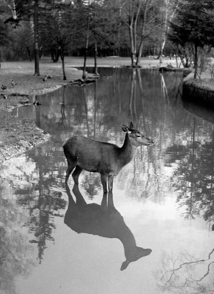 A deer standing in a wooded stream, with its reflection in the water, 1952.