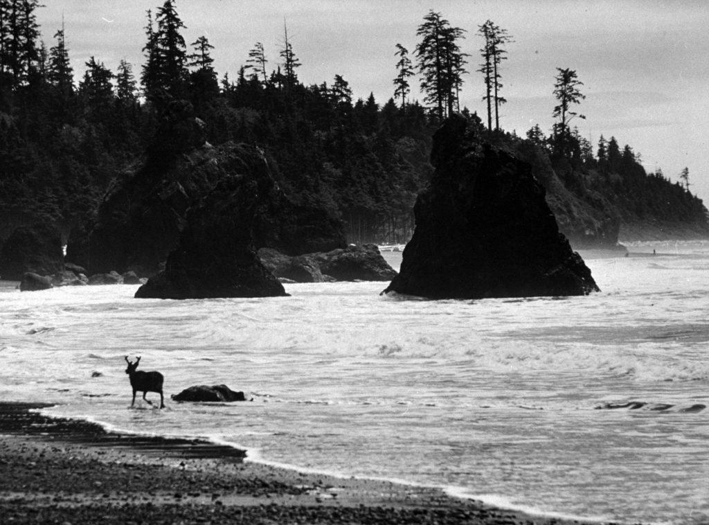 A deer cooling his heels along the Oregon seashore, 1960.