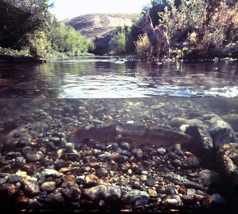 Rainbow trout resting in tributary of Madison River with a fawn drinking at water's edge taken by camera placed inside partially submerged glass enclosure, 1961.