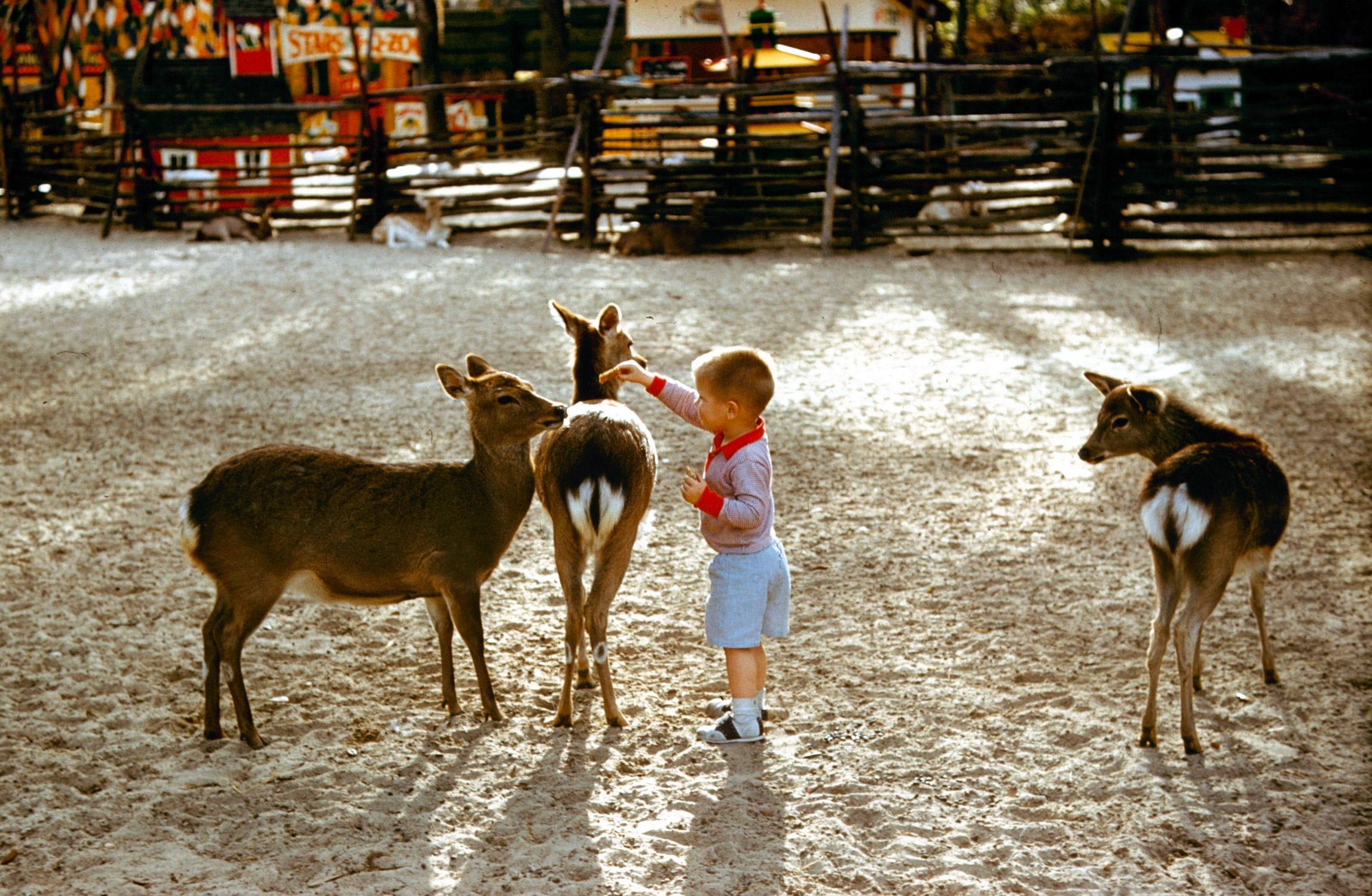 A young boy plays with a fawn and deer at a petting zoo, 1962.