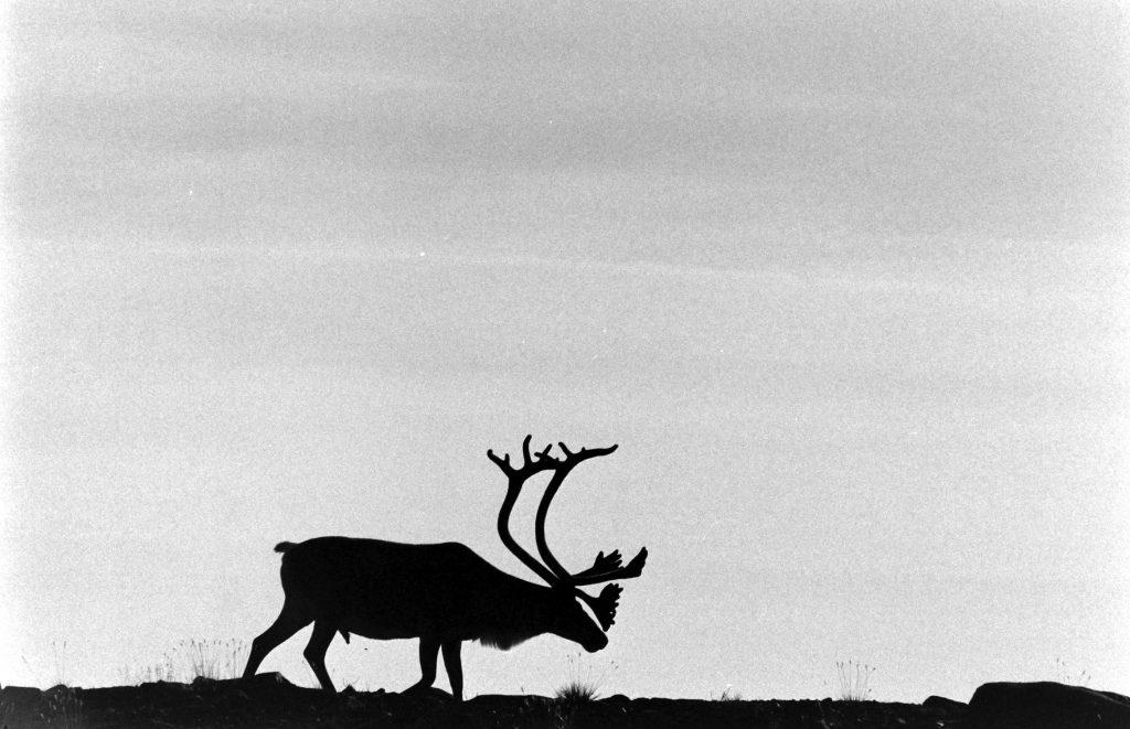 Deer with large antlers, 1966.