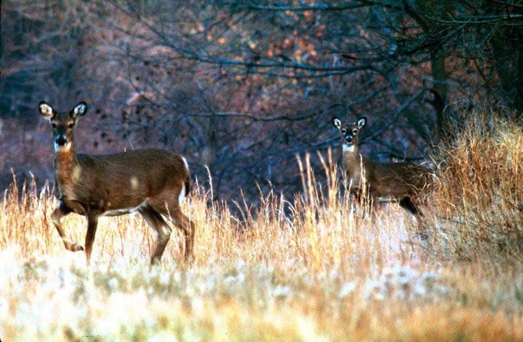 Deer on Gardiners Island, 1966.
