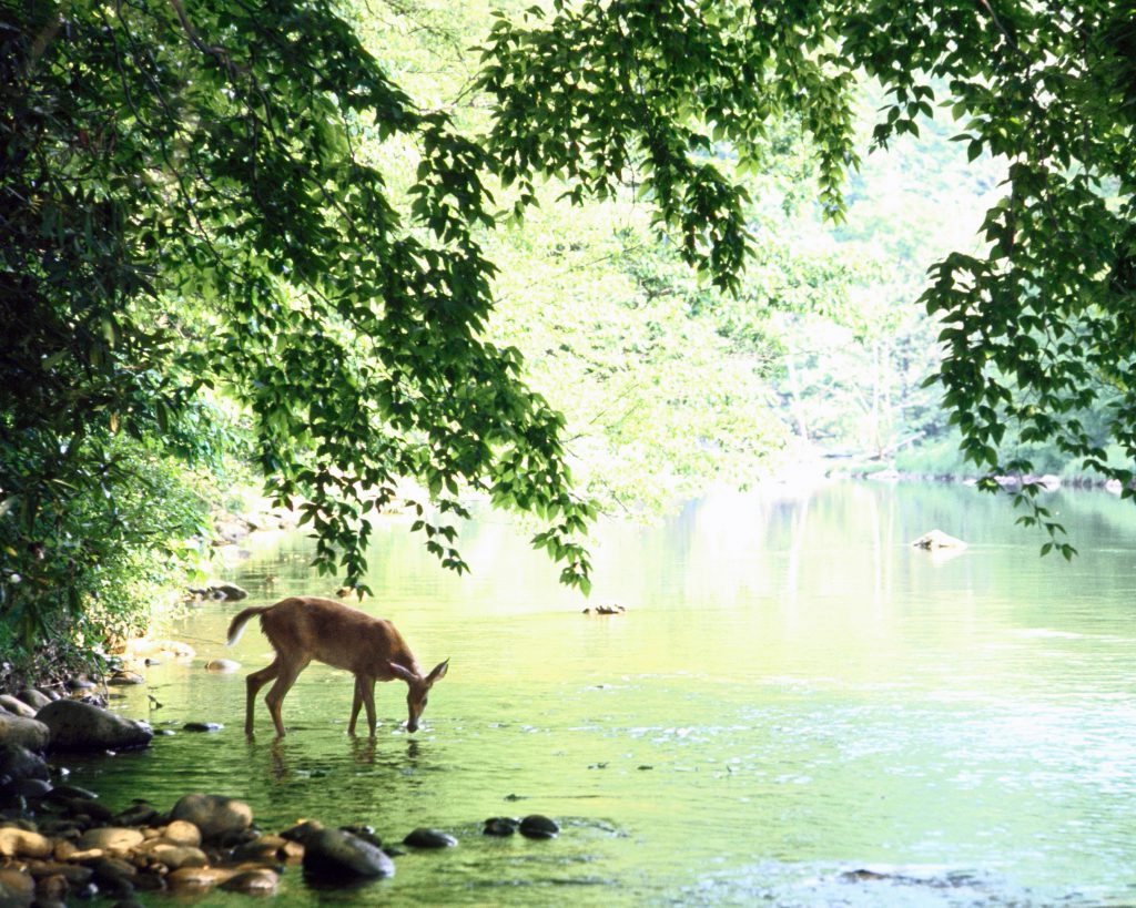 Lone white-tailed deer drinking water from the banks of Cheat River, 1967.