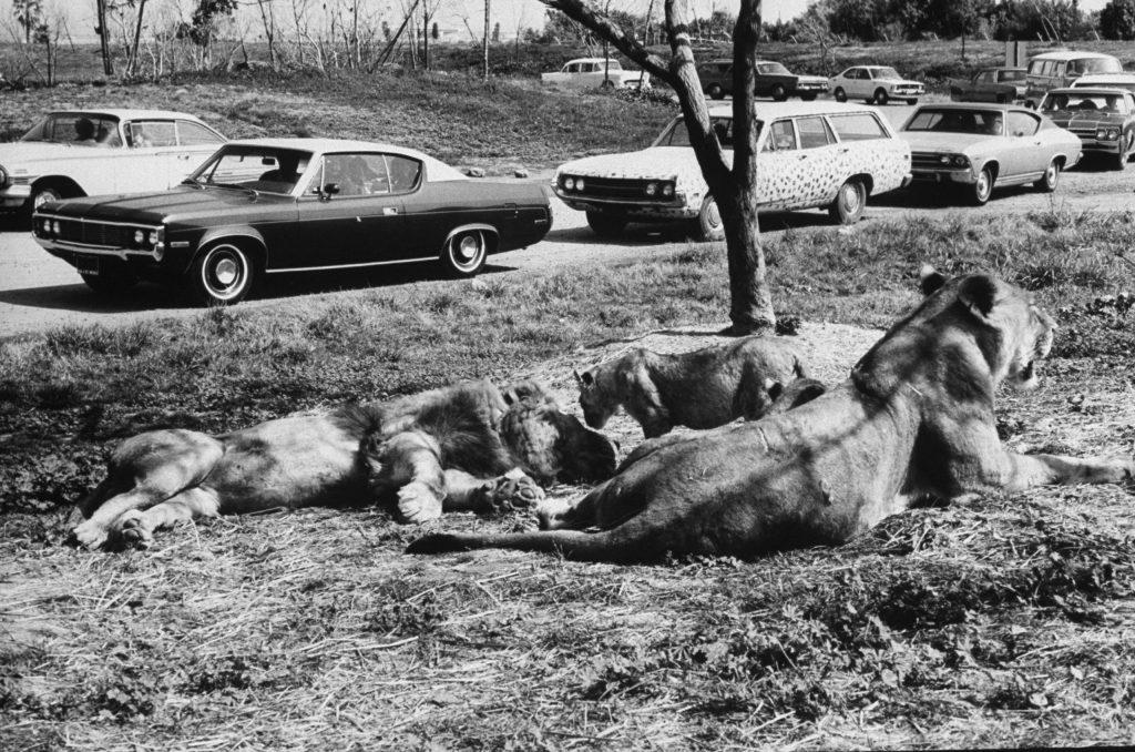 Frasier the lion 1972