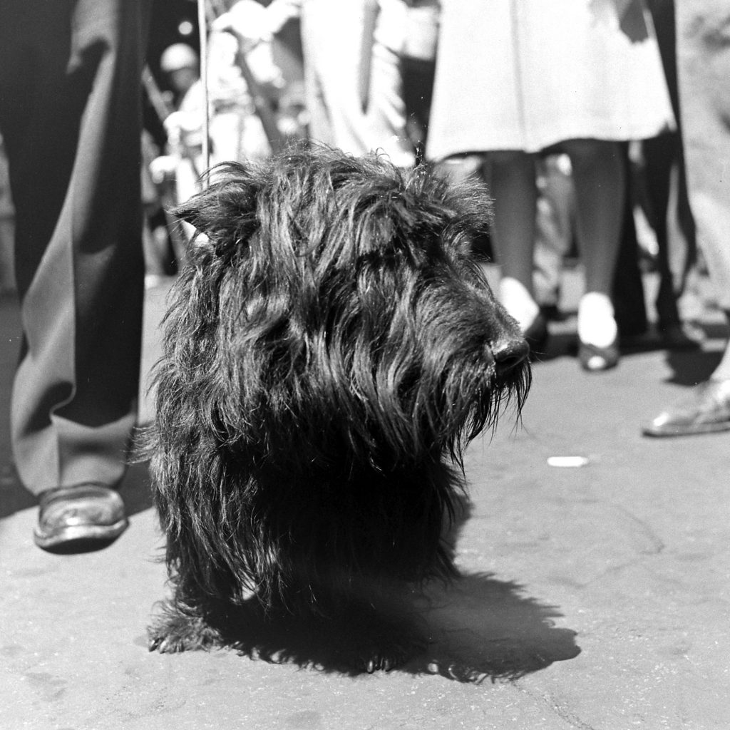 President Franklin D. Roosevelt's dog Fala during the funeral procession for the President. April 1945.