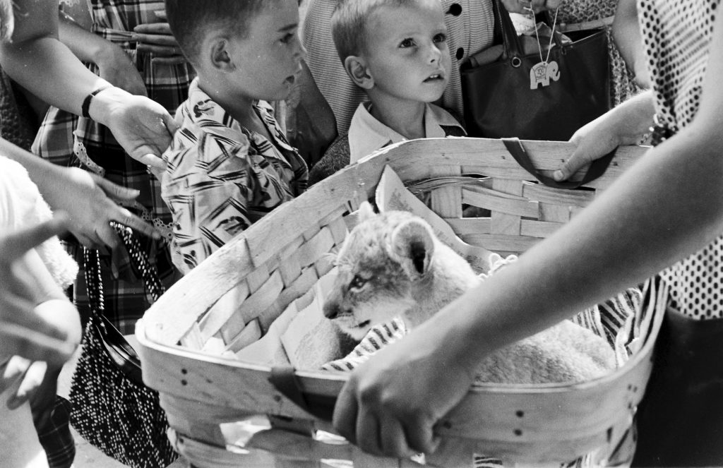 A lion cub in a basket at the Brookfield Children's Zoo in Chicago, 1953.