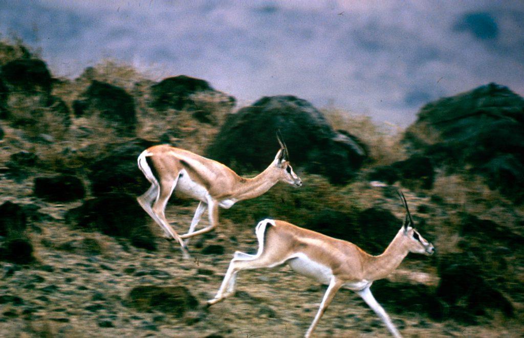 John Dominis African antelopes, 1969.