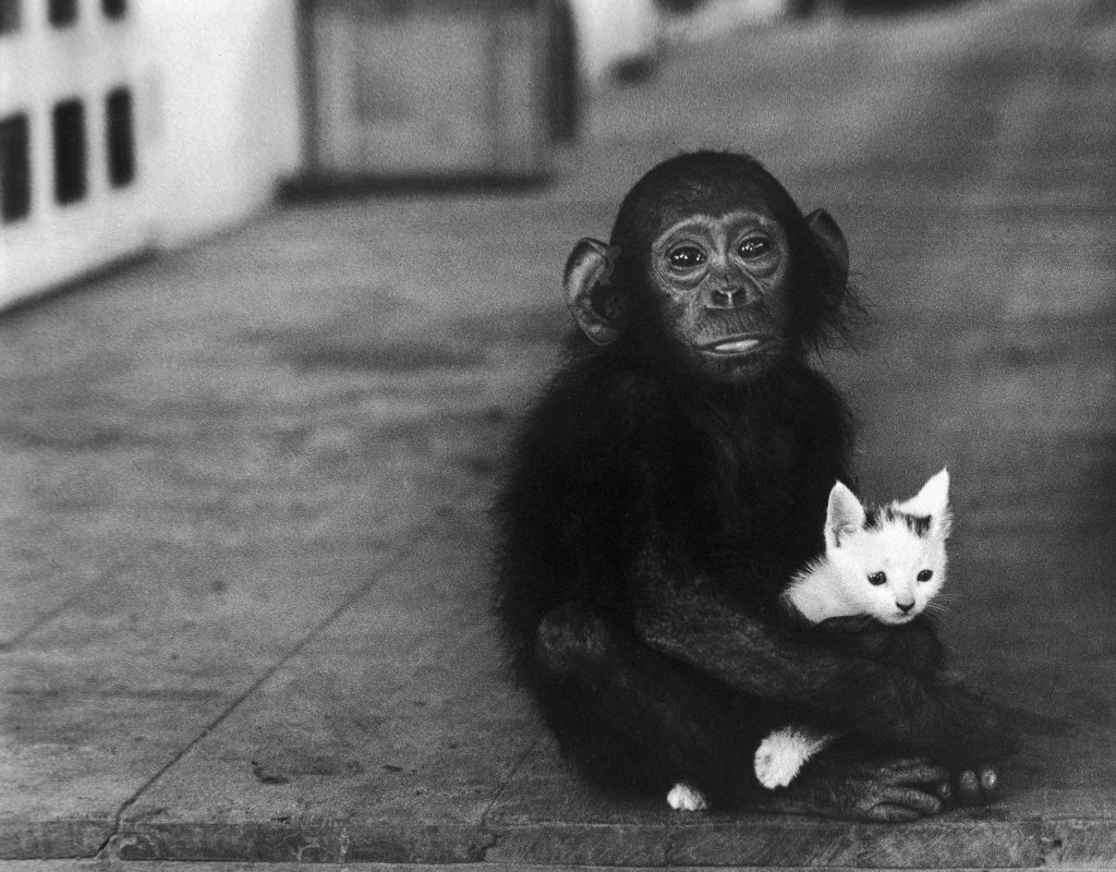 Baby chimpanzee holding a kitten at Dr. Albert Schweitzer's hospital, 1954.