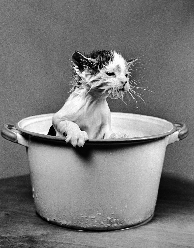 Kitten emerging from pot of milk after falling into it, 1940.