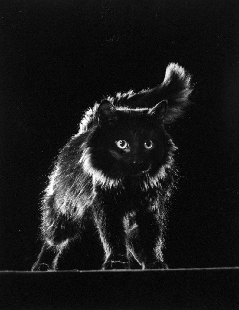 Portrait of Blackie, LIFE photographer Gjon Mili's cat, 1943.
