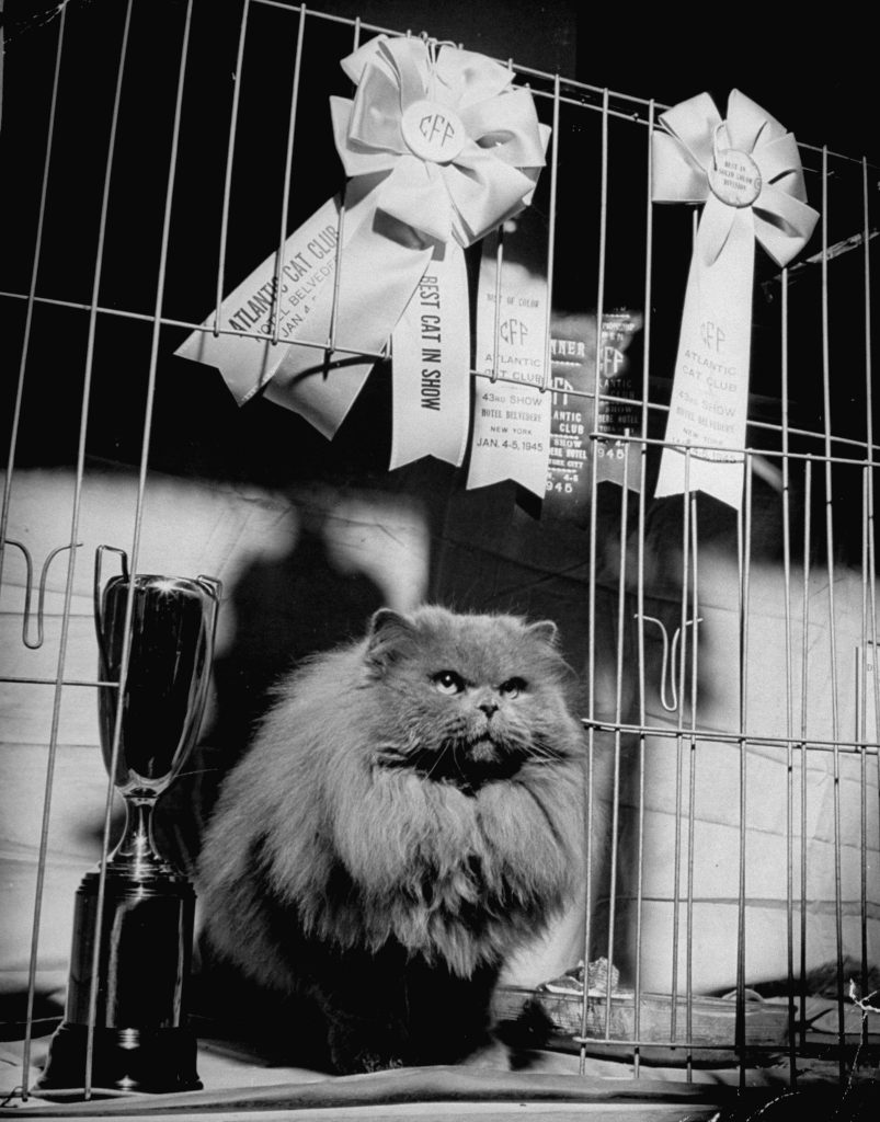 A husky Persian cat posing with his ribbions and trophy at the Atlantic City Cat Show, 1945.