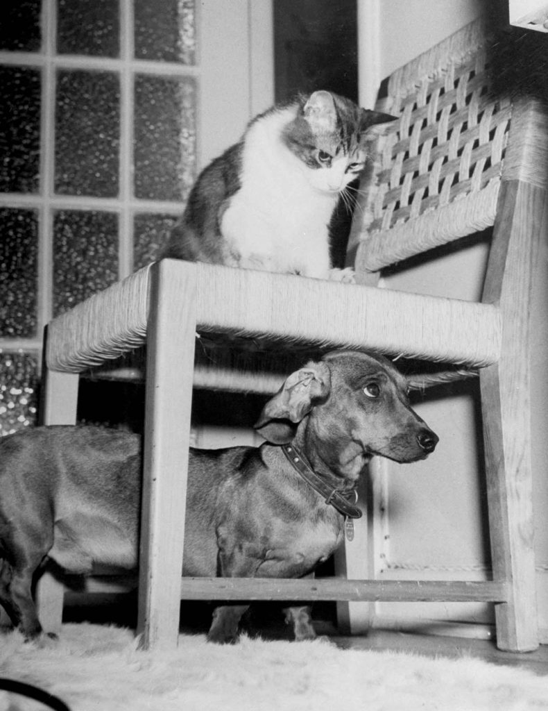 "Rudy the Dachshund and Trudy the cat engaged in hide and seek or'pounce on the dog"" in prelude to friendly roughhousing wrestling match between the pet housemates. 1946."