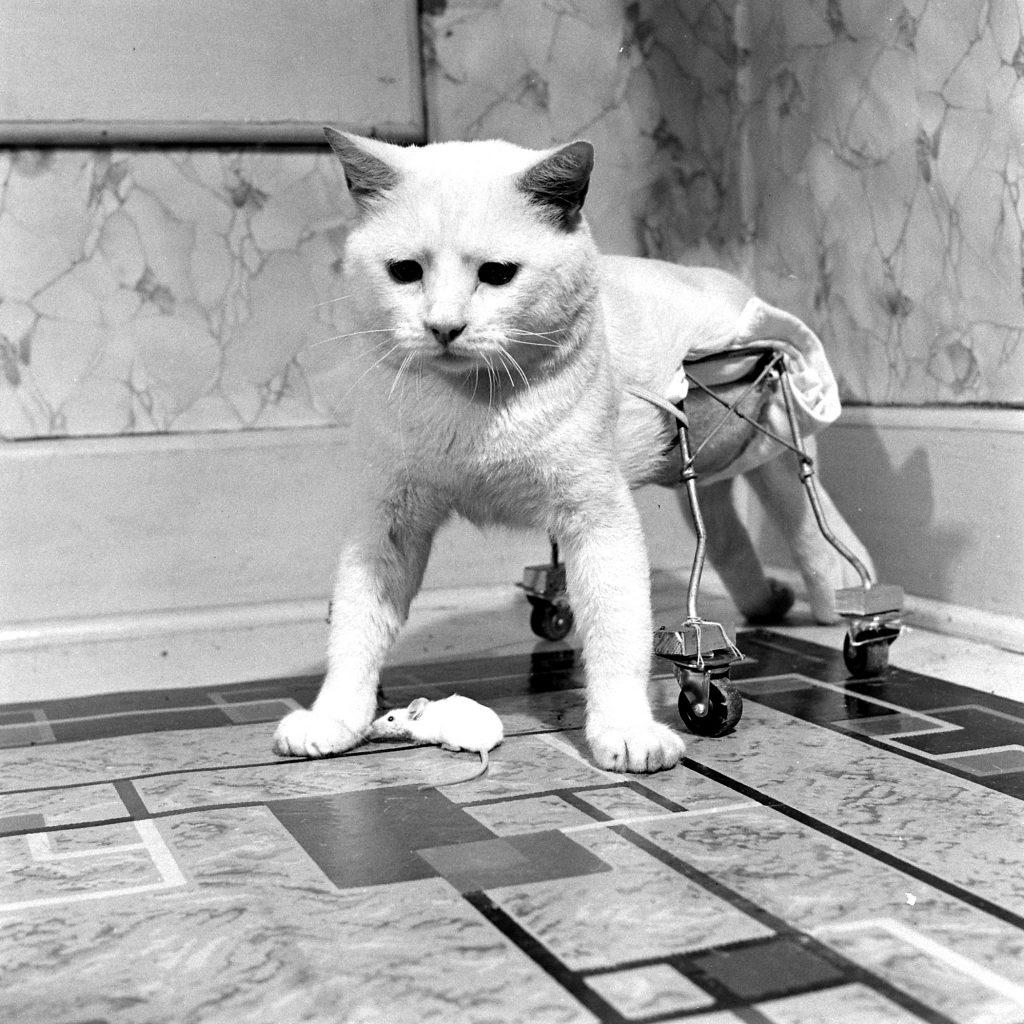 Cat on Wheels, 1948.