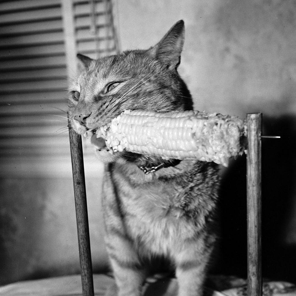 Nipper, the corn loving cat, 1951.