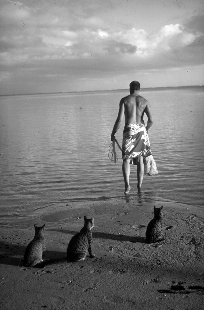 Ordinary striped tabby cats waiting on beach as a man goes out into the water to catch fish, 1962.