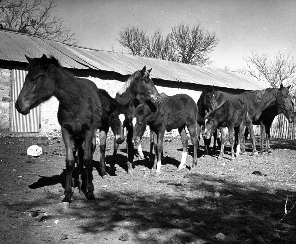 Polo ponies at the Peachtree Ranch in Texas, 1939.