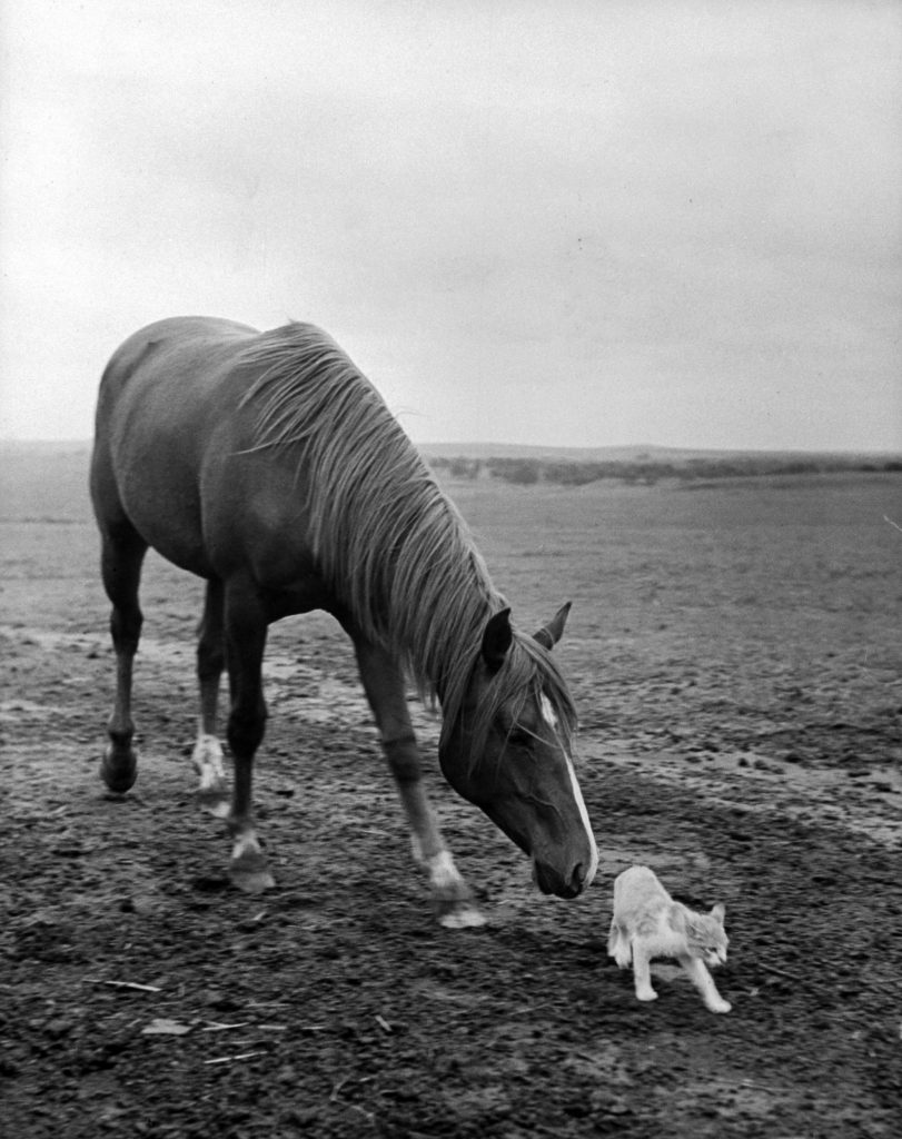 A stallion tried to make friends with a barn cat, 1943.