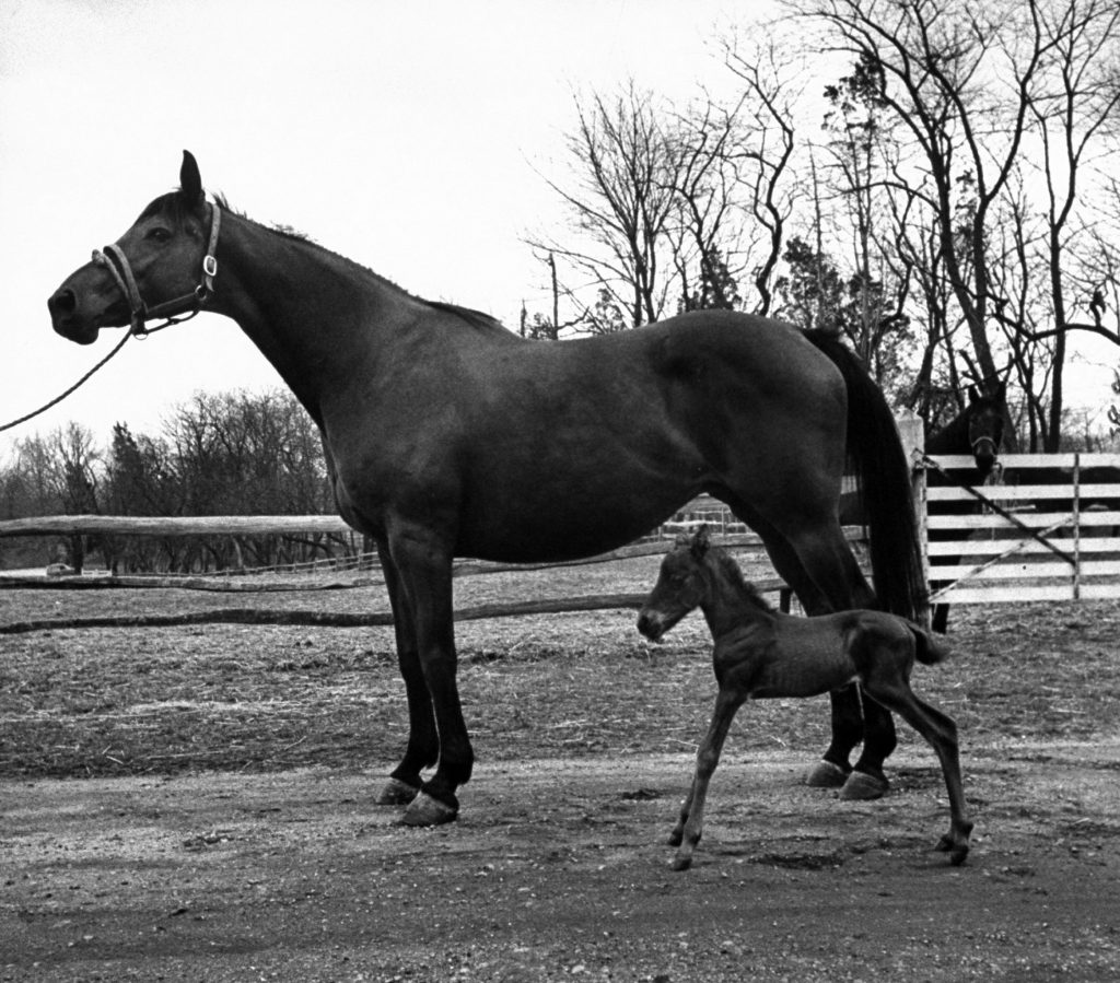 Midget thoroughbred filly, Big Bertha, and her mother on Woodland farm, 1954.